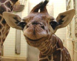 giraffe-head-close-up
