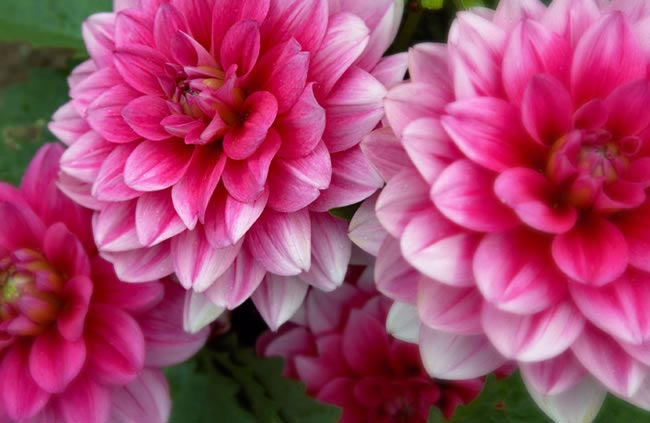 dahlia Wedding Flowers by Season: Your Ultimate Guide to Seasonal Wedding Flowers