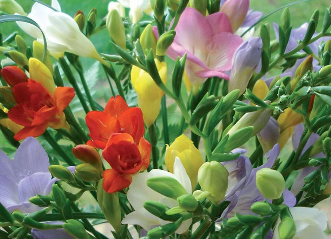 freesia Wedding Flowers by Season: Your Ultimate Guide to Seasonal Wedding Flowers