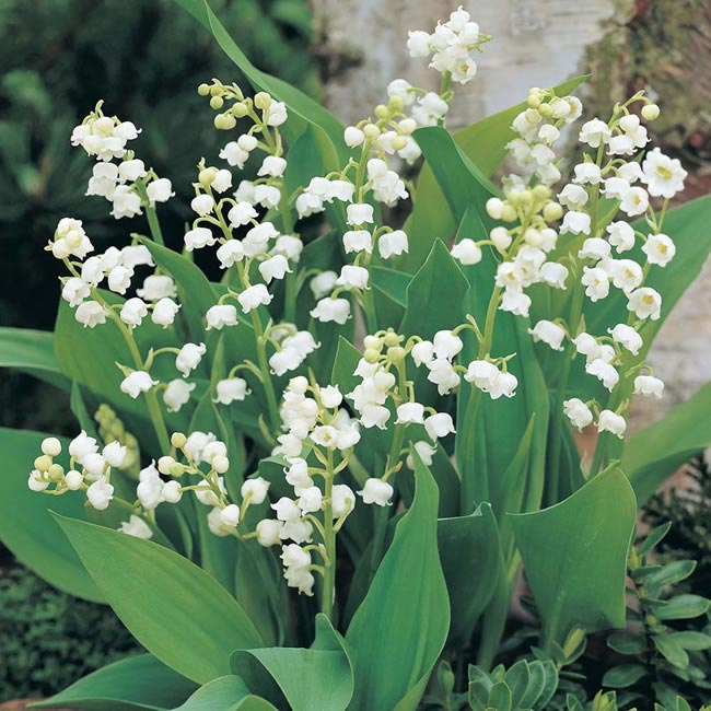 lily of the valley Wedding Flowers by Season: Your Ultimate Guide to Seasonal Wedding Flowers