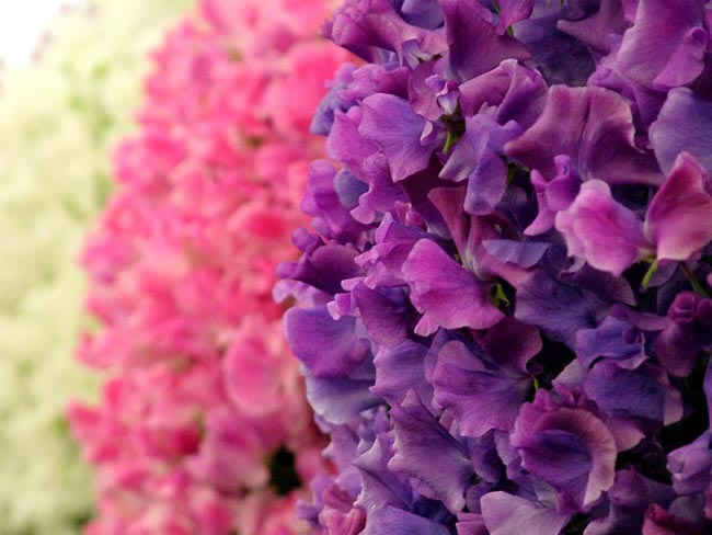 sweetpea Wedding Flowers by Season: Your Ultimate Guide to Seasonal Wedding Flowers