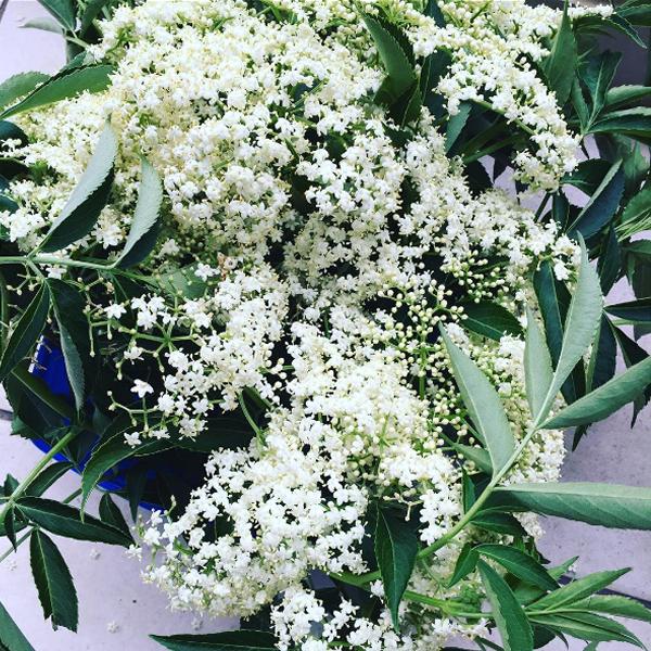 flowers-elderflower