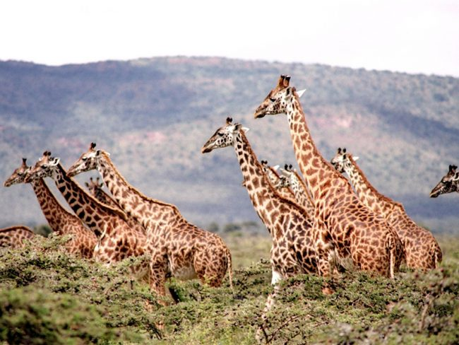herd of giraffe safari Take Inspiration From This Marriage Bucket List