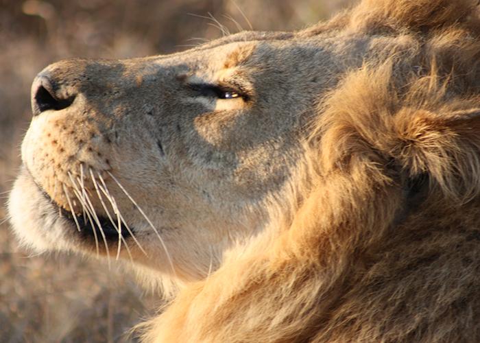 lion-botswana