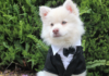 Dog dressed up for wedding
