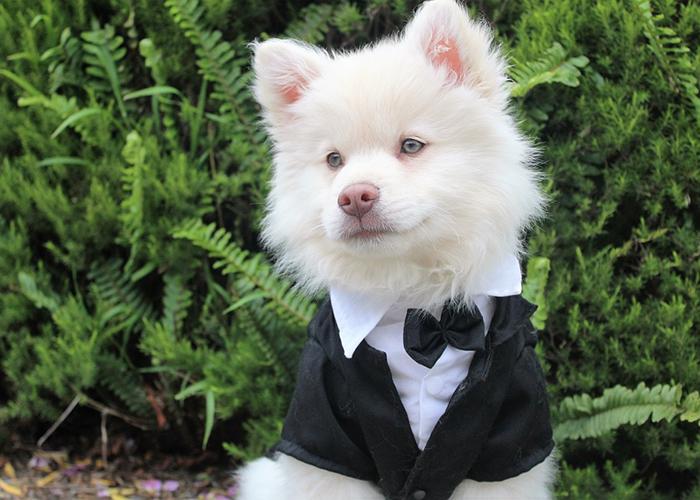 Dog dressed up for wedding