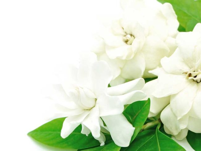 plain white gardenia flowers for scented weddings