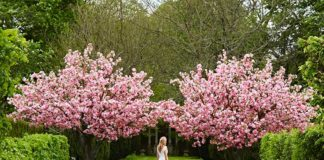 Outdoor cherry blossoms arching over bride