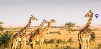 giraffe-top-honeymoon-destinations-nemo-travel